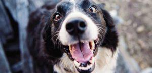 cuidar los dientes de perro
